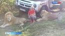 Укушенная львом кировчанка судится с владельцем крымского сафари-парка ГТРК Вятка