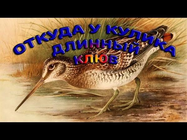 Откуда у кулика длинный клюв сурд пер