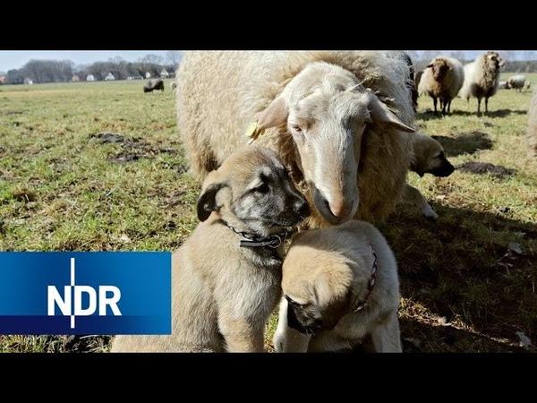 Kangals Bodyguards für Schafe NaturNah NDR Doku
