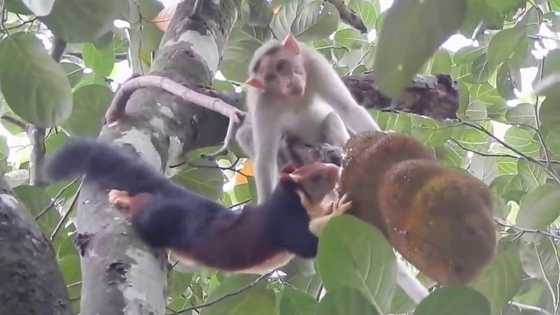 Ревность обезьяны к белке Прожорливая белка