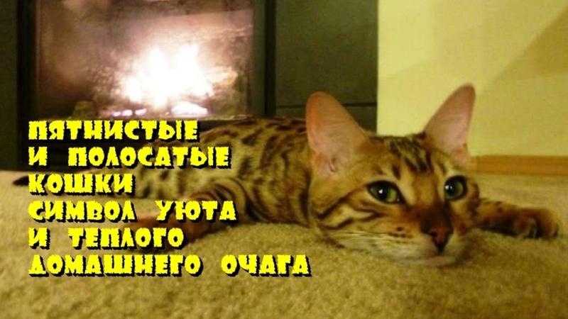 Пятнистые и полосатые кошки символ уюта и теплого домашнего очага