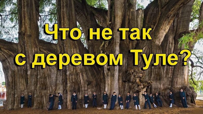 Что не так с древними сверхмассивными деревьями