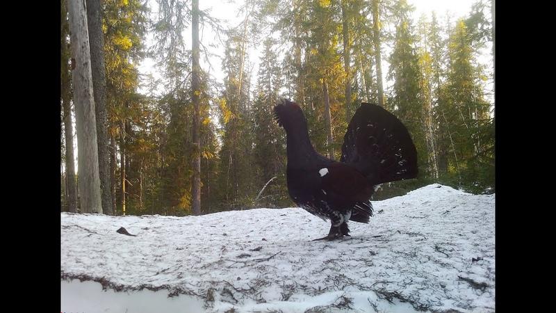 Финал токования глухарей Нежданный снегопад
