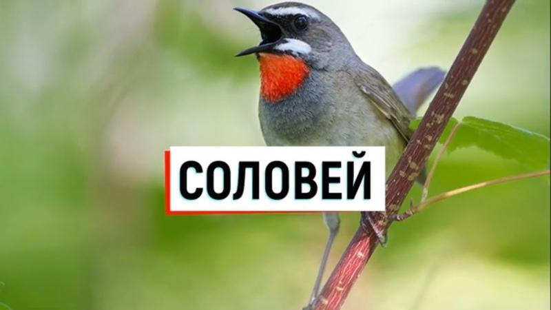 Соловей птица Образ жизни и среда обитания соловья