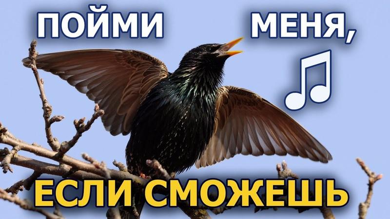 Как скворец-пересмешник подражает голосам птиц