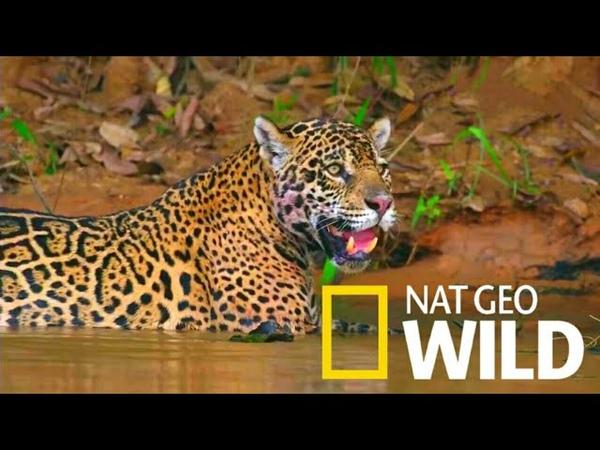 Дикая Бразилия 4 серия Прибежище ягуаров