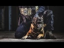 Единственная собака которая издевается над Питбулом, BELGİAN MALINOIS K9 Бельгийский волк