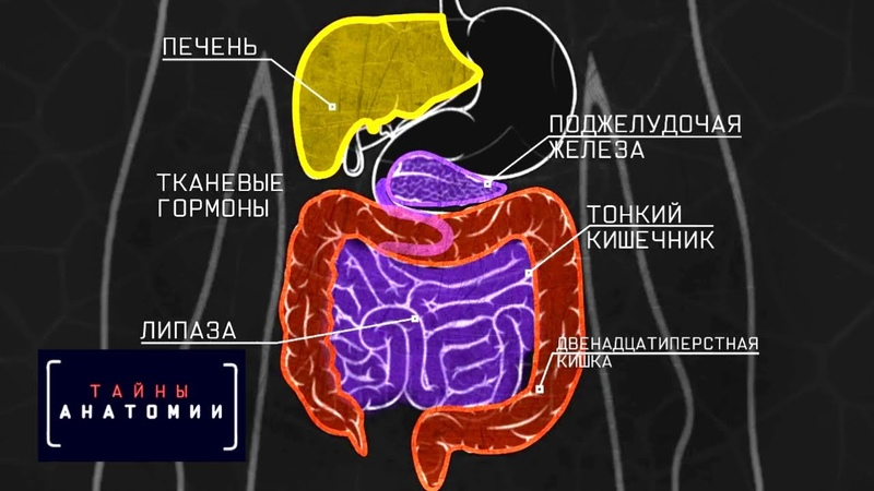 Пищеварительная система | Тайны анатомии