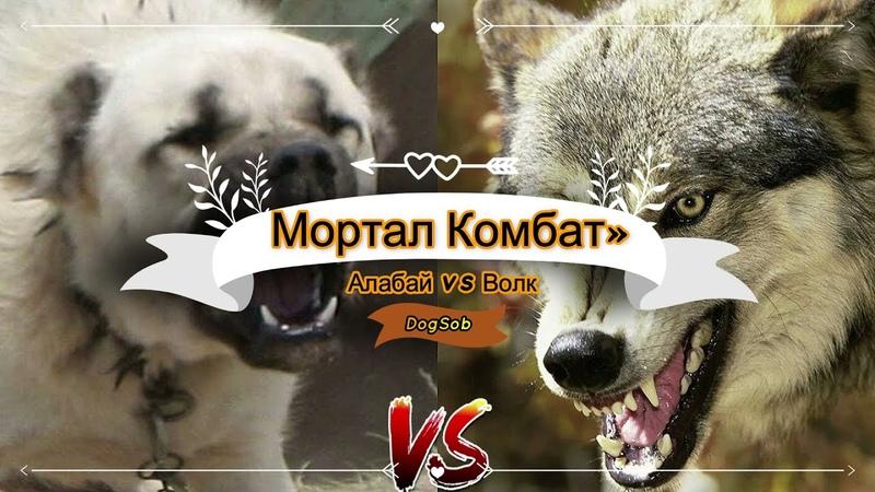 Мортал Комбат Алабай vs Волк Mortal kombat Alabai vs Wolf