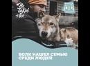 Особенный волк Аярвик нашел семью среди людей