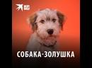 Собака-Золушка