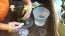 ТОПАЗ для орхидеи корни и листья БУДУТ ЗДОРОВЫ