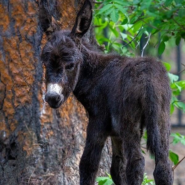 В Новосибирском зоопарке родился жеребёнок американской миниатюрной лошади