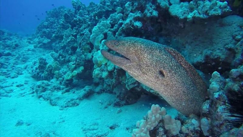 Мурены прожорливые хищники морей Мурена против акулы и осьминога Интересные факты